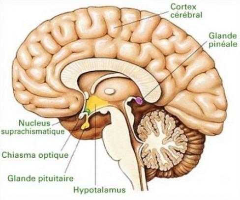 Hypotalamus Glande pinéale
